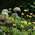 写真: 白い小さな花が広がって