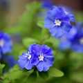 写真: 爽やかな青い花