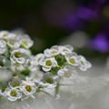 甘い香りの白い花