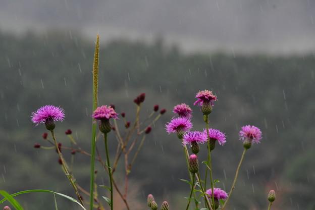 写真: 雨ふる中に~~