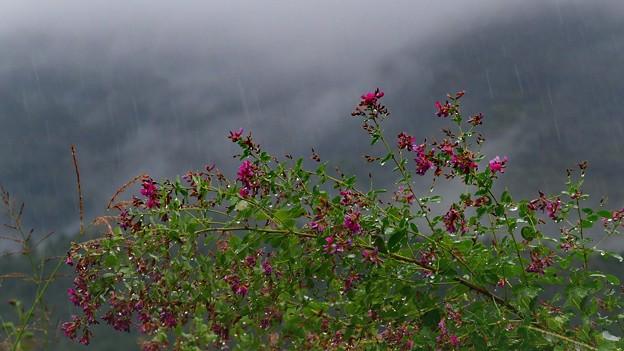写真: 雨にうたれる・・・