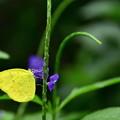 写真: 黄色い蝶さん!