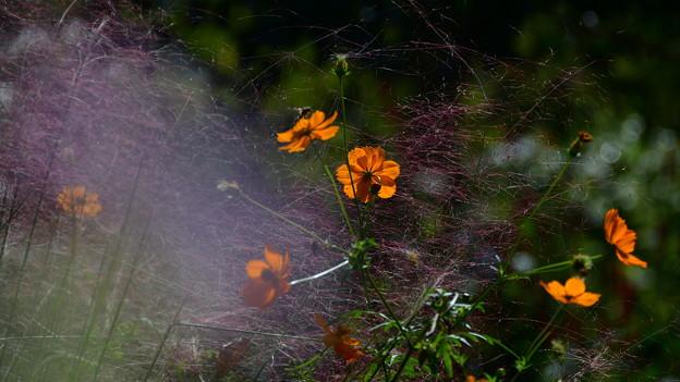写真: 畦道のコスモス