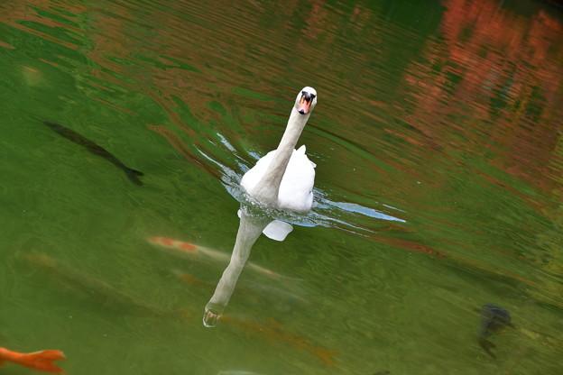 写真: 白鳥の湖