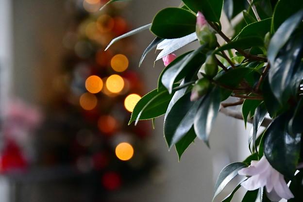 Photos: 侘助もクリスマスを!