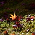 写真: 光る落ち葉