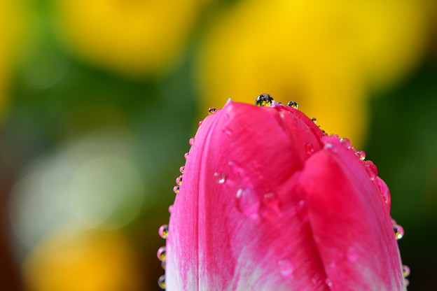 Photos: 春のしずく