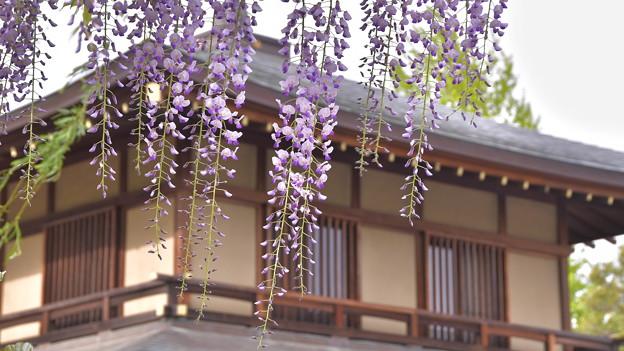 Photos: 夕方の藤