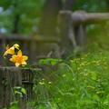 Photos: 武蔵野のキスゲ