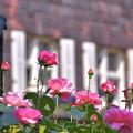 Photos: ピンクのばら