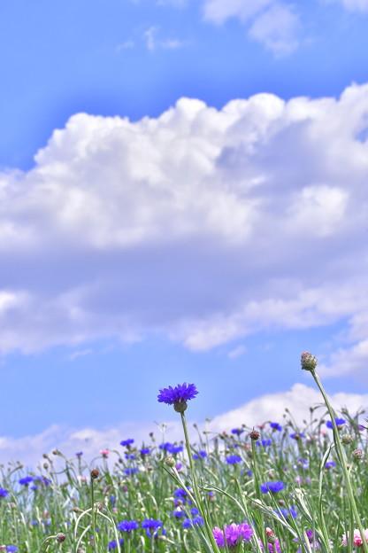 Photos: ヤグルマギクの花畑