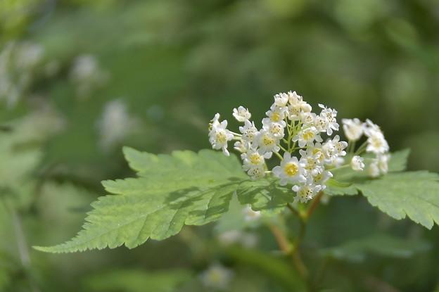 Photos: 白い小花の集まりは・・・