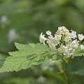 白い小花の集まりは・・・