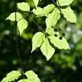 緑の葉かげにちょこんと・・
