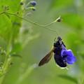 蜂とカリガネソウのあそび