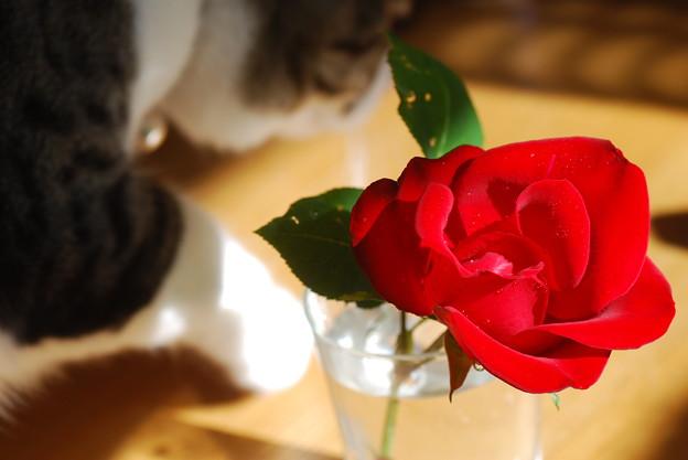 猫とカザグルマ(薔薇)