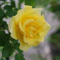 写真: 黄色のばら