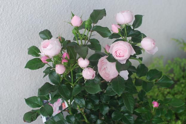 10年間ほしかった薔薇