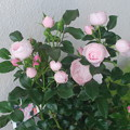 写真: 10年間ほしかった薔薇