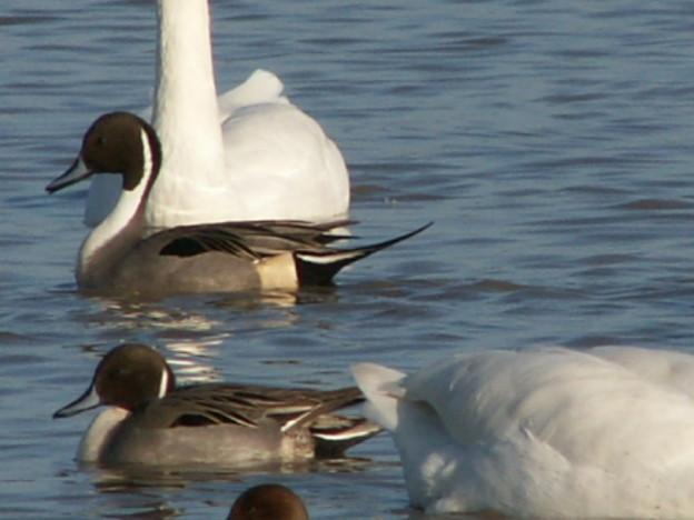 本埜の白鳥 152