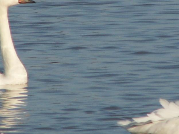 本埜の白鳥 155