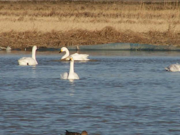 本埜の白鳥 160