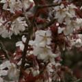 Photos: 桜2010 005
