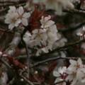 Photos: 桜2010 006