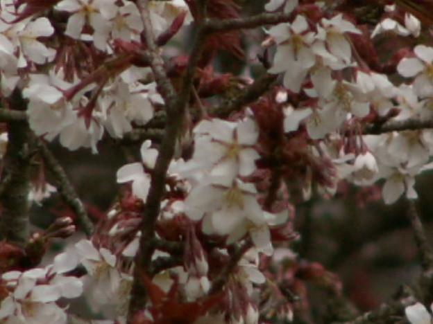 桜2010 005