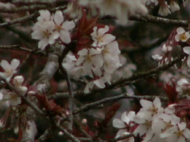 桜2010 006