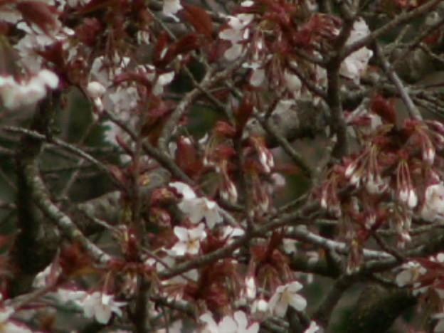 桜2010 008