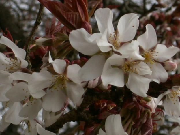 桜2010 013