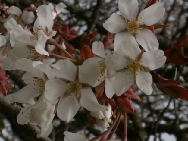 桜2010 017