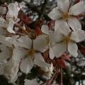 Photos: 桜2010 017