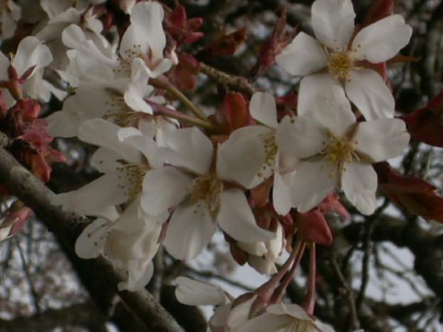 桜2010 018
