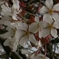 Photos: 桜2010 018