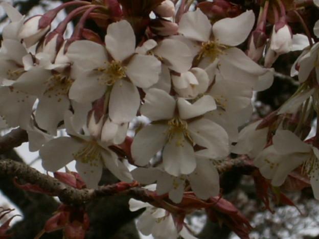 桜2010 019