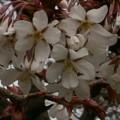Photos: 桜2010 019