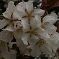 Photos: 桜2010 020