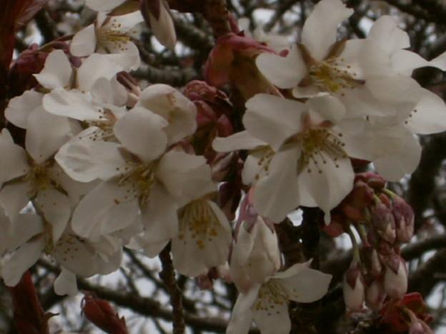 桜2010 021