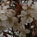 Photos: 桜2010 021