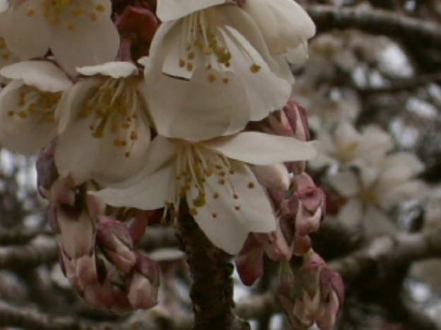 桜2010 022