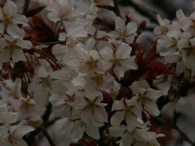 桜2010 027