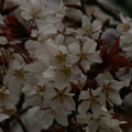 Photos: 桜2010 027