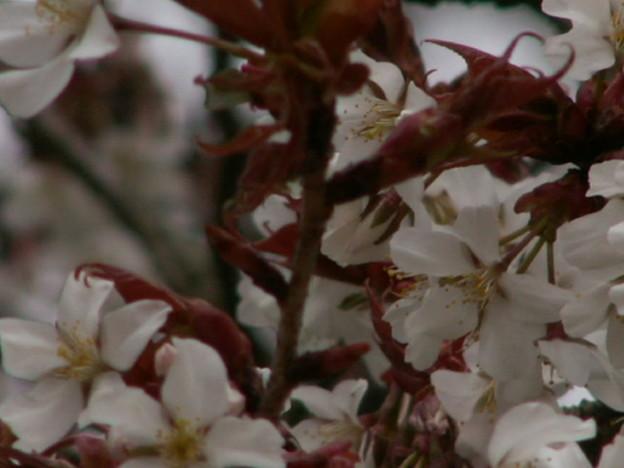 桜2010 028