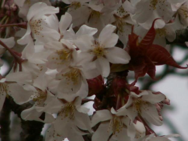 Photos: 桜2010 029