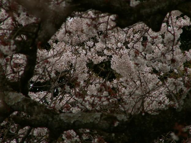 桜2010 030