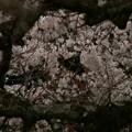 Photos: 桜2010 030
