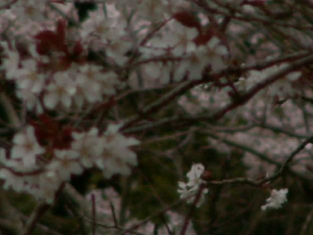 桜2010 031