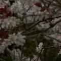 Photos: 桜2010 031
